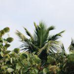 Een Citroenboompje Kopen